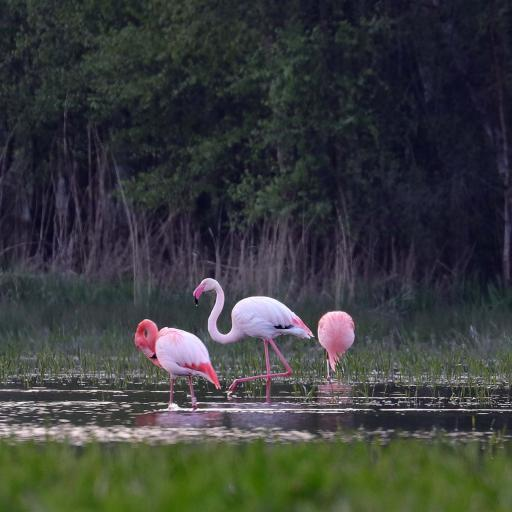 Flamingos April 2019